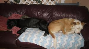 red leather couch with a big black dog and a big  yellow dog sleeping